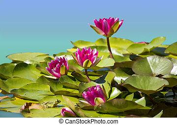 rosa, immagine, waterlilies, fondo, stagno, .flowers