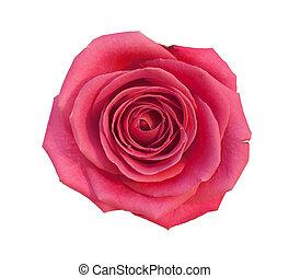 rosa, isolato