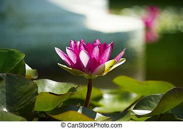 rosa, loto, fondo, stagno, .flowers, scheda