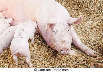 rosa, piccolo, alimentazioni, maiali, maiale