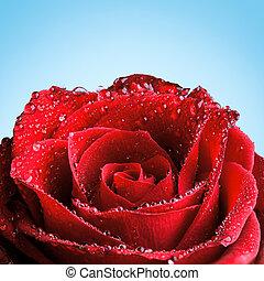 rosa, rosso, rugiada