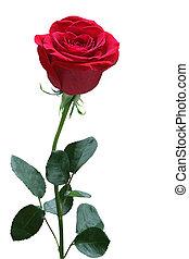 rosa, singolo