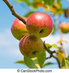 rosso, succoso, mele