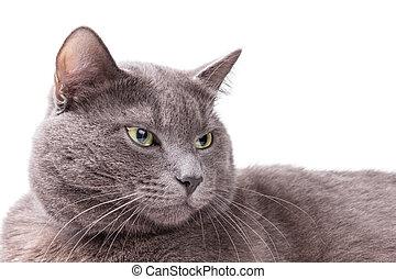 russo, ritratto, gatto blu