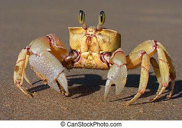 sabbia, granchio