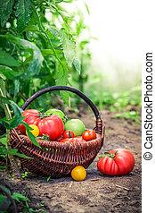 sano, pomodori, suolo