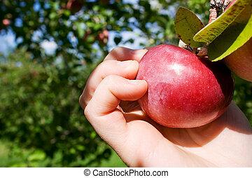 scegliere, mela