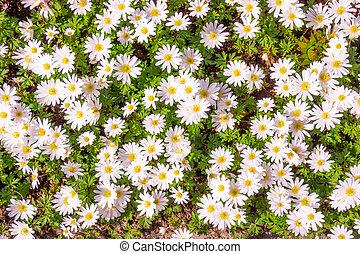 scena, fiori, campo, chamomiles, bello, natura
