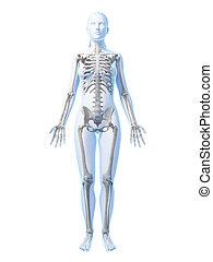 scheletro, femmina
