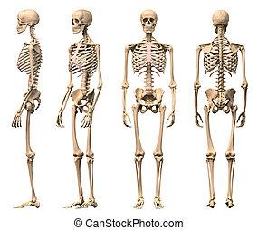 scheletro, maschio, rendering., corretto, scientificamente, viste, ritaglio, fronte, quattro, indietro, umano, included., perspective., percorso, photorealistic, 3-d, lato