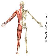 scheletro, muscolare, divisione, maschio, vista posteriore
