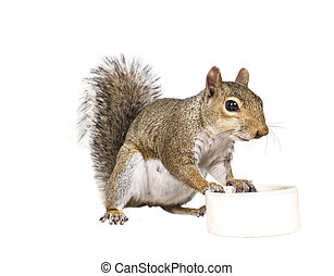 scoiattolo grigio, resti, americano, bianco, piattino
