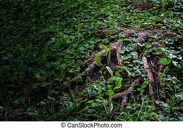 scuro, vecchio albero, quercia, magico, profondo, forest., grass., verde, sotto, radici