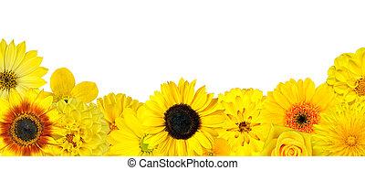 selezione, fondo, isolato, fiori gialli, fila