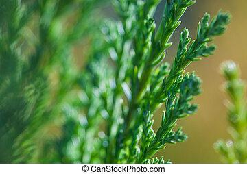 sempreverde, marrone, pianta, rami, arbusto, ginepro, macro, sfondo verde, foto