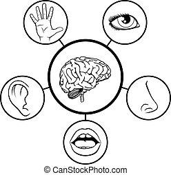 sensi, cinque, cervello