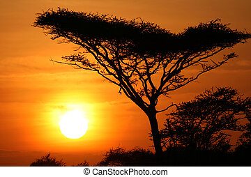 serengeti, albero acacia, tramonto, africa