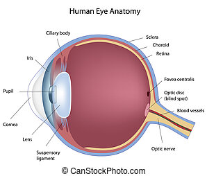 sezione, eps8, croce, occhio umano