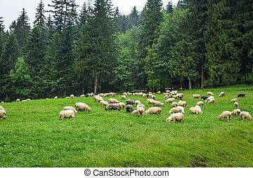 sheep, montagna, collina, gregge