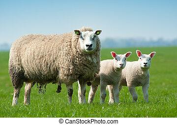 sheep, primavera, agnelli, lei, madre
