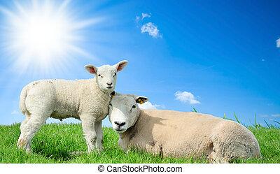 sheep, primavera, agnello, lei, madre