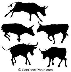 silhouette, collezione, toro
