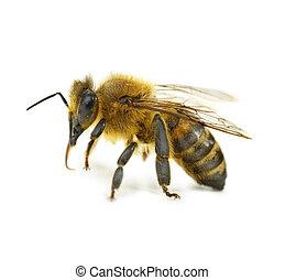 singolo, isolato, ape