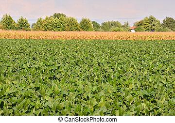 soia, campo, fagiolo, pianta