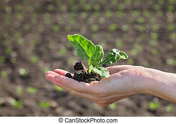 soia, primavera, pianta, agricoltura