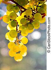 sole, vite, giallo, luminoso, uva, crescente