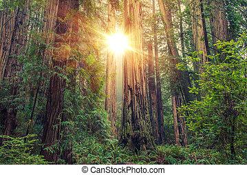 soleggiato, foresta redwood