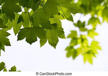 stagionale, primo piano, foglie, albero, sfondo verde, acero