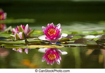 stagno, verde, waterlily, rosa, bello