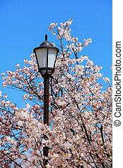 strada, fiori, ciliegia, luce, charmant