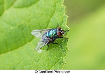 su, insetto, chiudere, animale, mosca