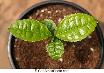 tè, pianta, verde, vaso, conservato vaso