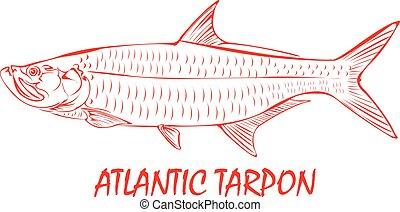 tarpon, fish., atlantico