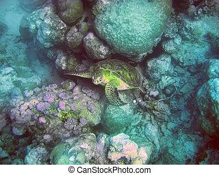 tartaruga, subacqueo, mauritius., indiano, ocean., stones., world-