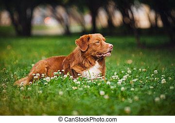 toller, cane riporto dorato, resti, cane