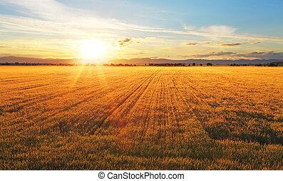 tramonto, sopra, frumento, field.