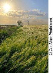 tramonto, sopra, segale, campo verde
