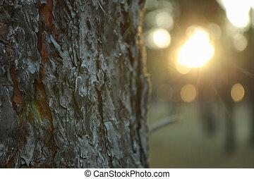 tramonto, tronco, su., testo, pino, bello, spazio, chiudere, foresta