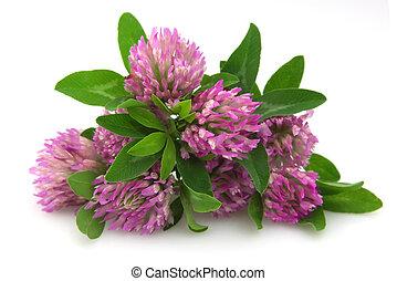 trifoglio, fiori