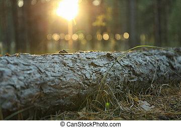 tronco, tramonto, ground., testo, pino, bello, spazio, foresta