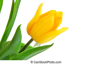 tulipano, foglie, fiore, verde, giallo