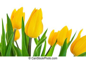 tulipano, foglie, fiori, verde, giallo