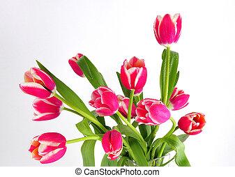 tulips, bianco rosso, fondo