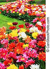 tulips, multicolor