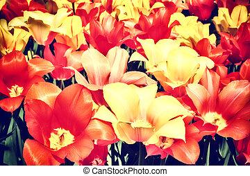tulips, multicolor, closeup