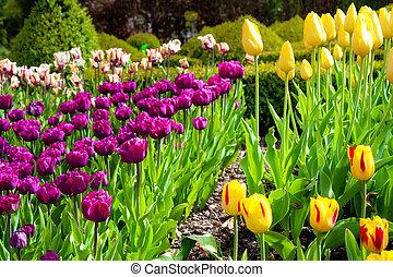tulips, primavera
